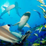 A pack of blacktip reef sharks scatters a school of fish. Unlike the g