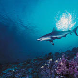A silky shark, so named because of the smooth texture of its skin. In