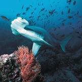 A hammerhead shark scans a coral reef for easy prey.