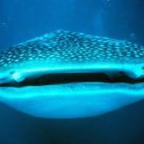 Whale shark (Rhincodon typus) off Ningaloo Reef, Australia.