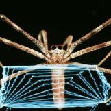 Net-casting Spiders
