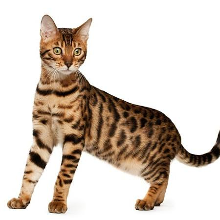 Animal planet my cat from hell bengal