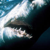 "A South African great white shark.""There had been a few random breache"