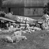 A Wulf among the sheep. This  Focke-Wulf Fw 190A-8 fighter was downed