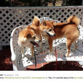 Shiba inus celebrate their World Pup win!