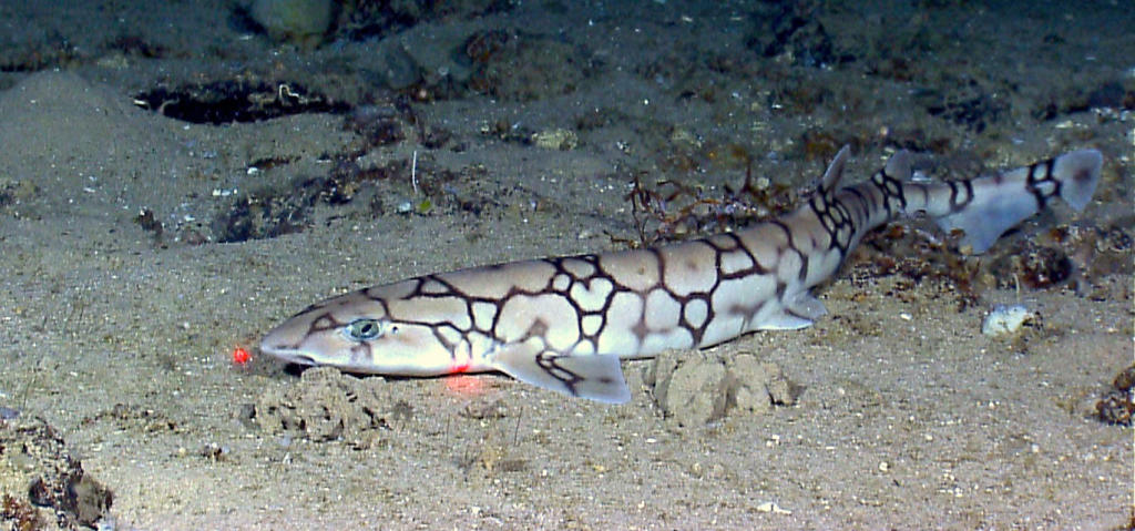 an overview of dogfish sharks Squalus acanthias this long, slender dogfish has a pointed snout, large eyes, and spines in front of its two dorsal fins it is a brownish slate color, fading to a pale underbelly, with rows of white spots down its upper body that fade with age.