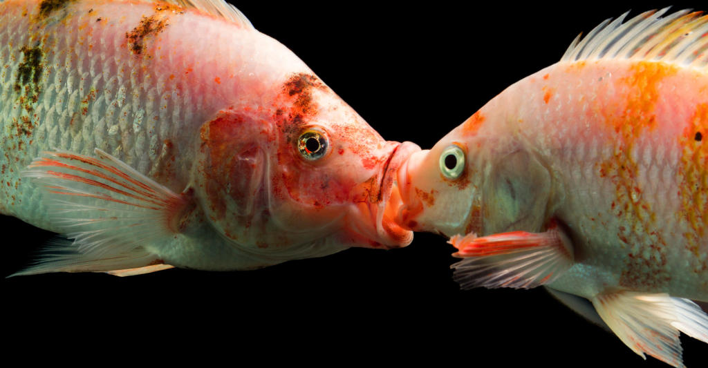 Consider, that goldfish have sex are mistaken
