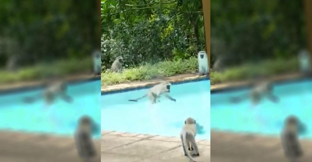 vervet monkeys cool off in backyard pool party discovery blog