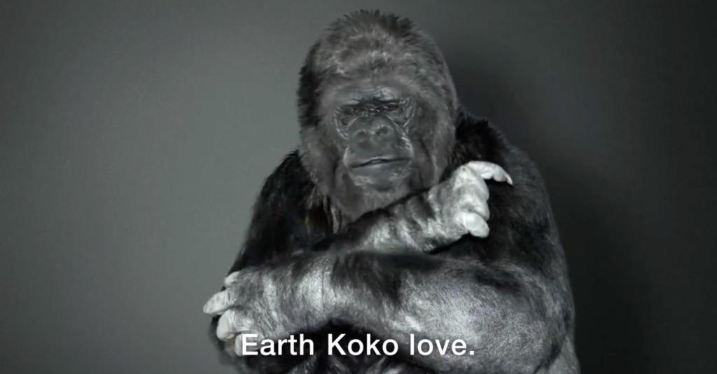koko the gorilla - photo #25
