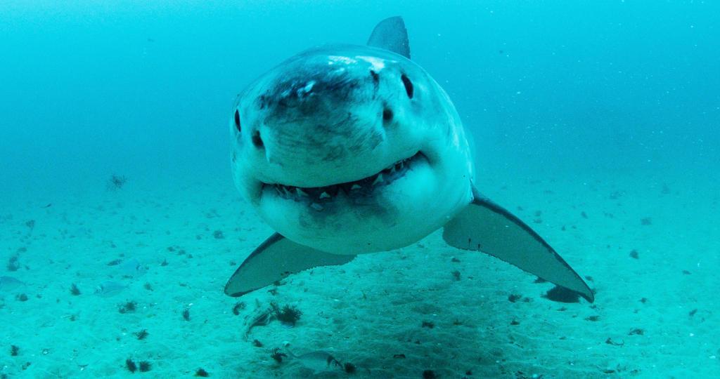 Top 50 Great White Shark Videos | Shark Week | Discovery