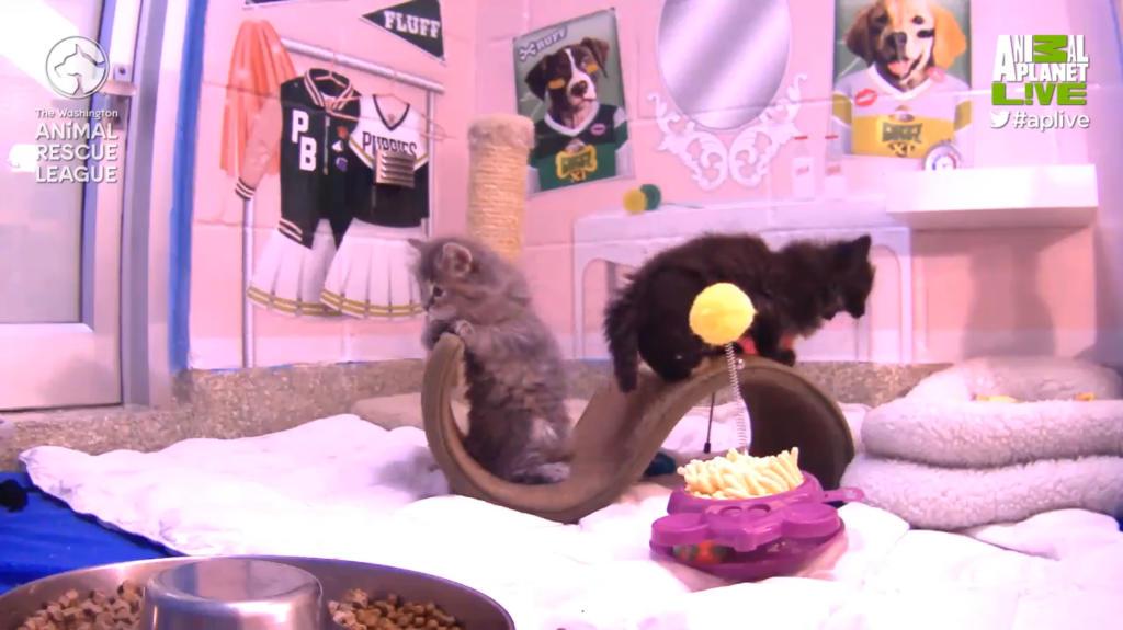 Kitten Cam | Too Cute | Animal Planet