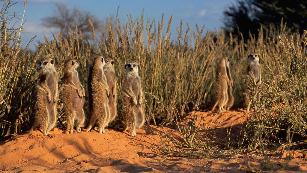 meerkat games on animal planet