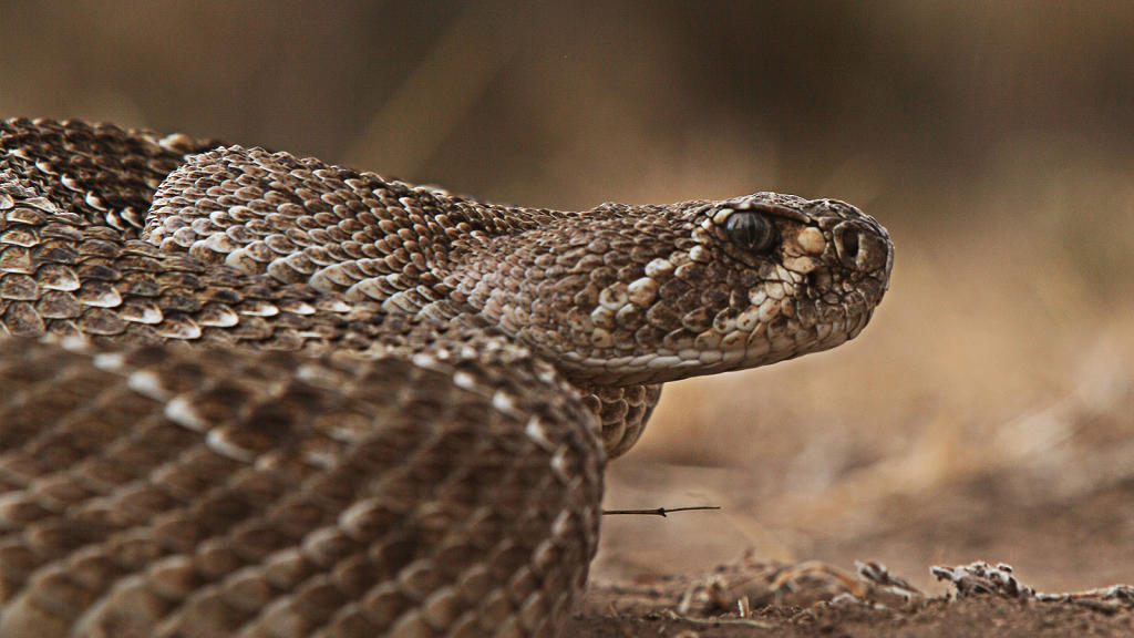 diamondback rattlesnakes The western diamondback rattlesnake (crotalus atrox) is a heavy bodied snake with a triangular shaped head there are two dark diagonal lines on each side of its face running from the eyes to its.