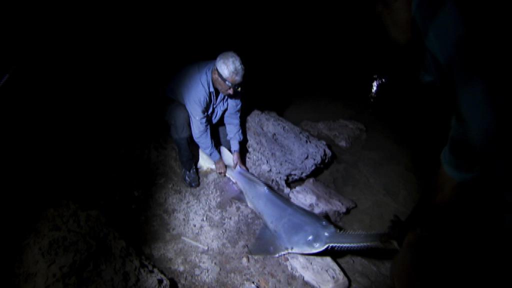Massive Sawfish | Animal Planet