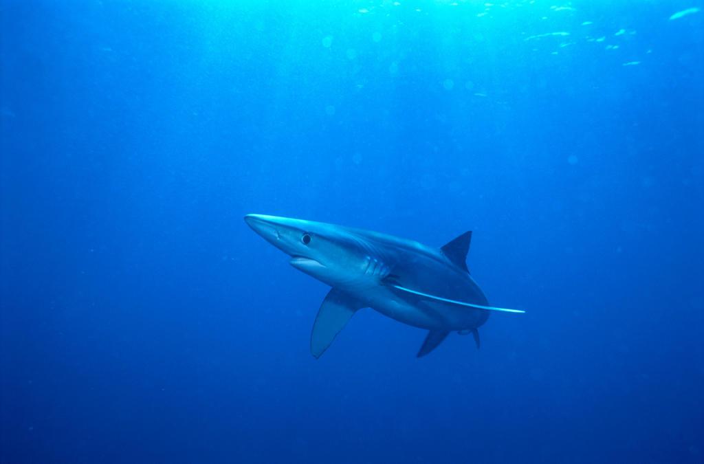 Blue Shark | Shark Week | Discovery