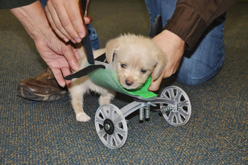 Two-Legged Puppy Outfitted With 3-D Printed Wheelchair
