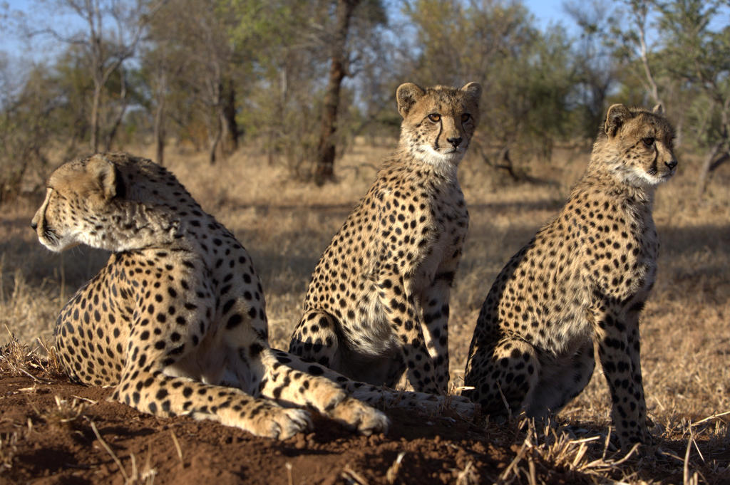 Cheetah adaptations - photo#26