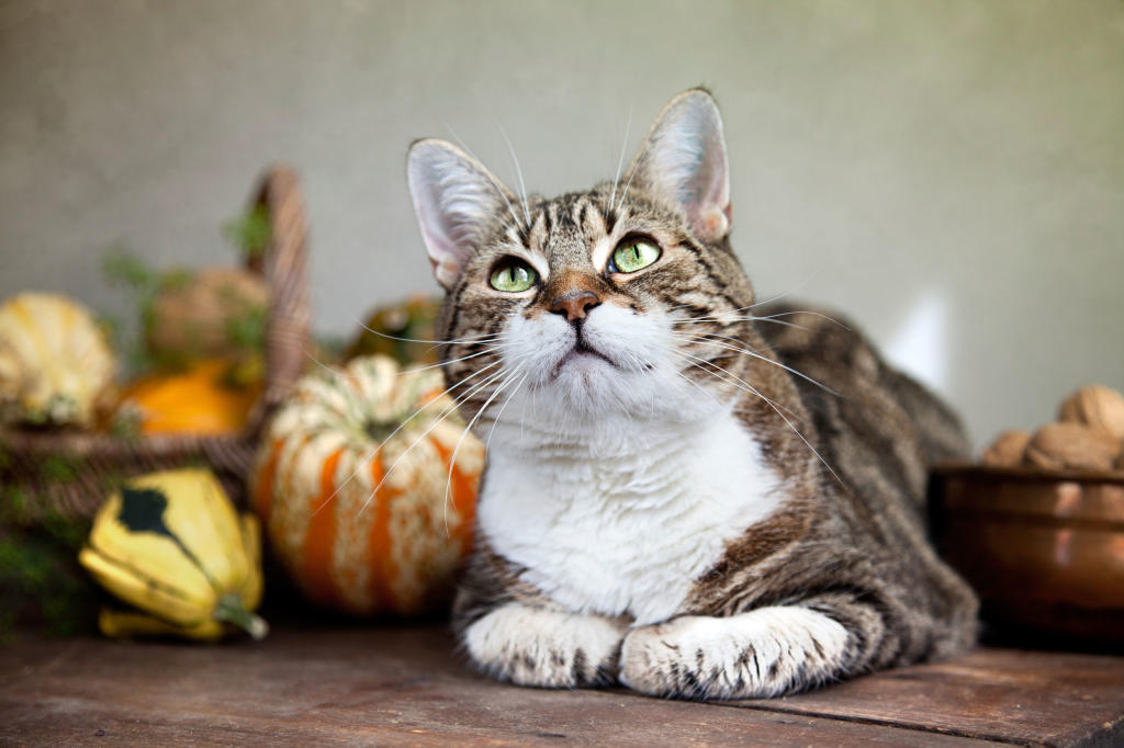 How To Put Your Cat On A Diet Healthy Cats Animal Planet