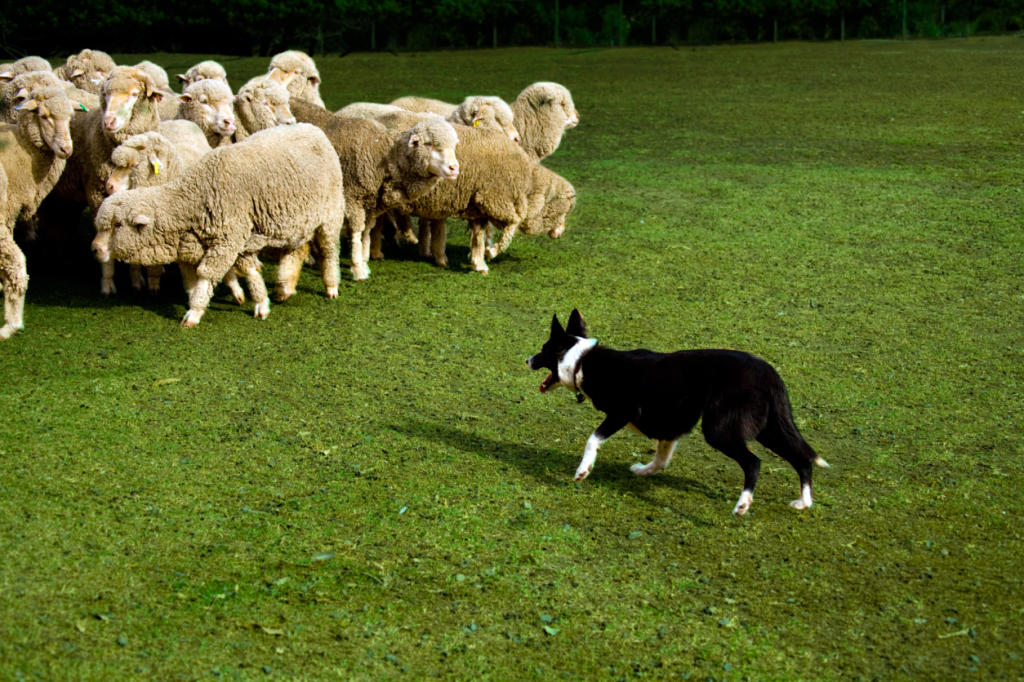 Do herding dogs automatically know how to herd? | Dog Training ...