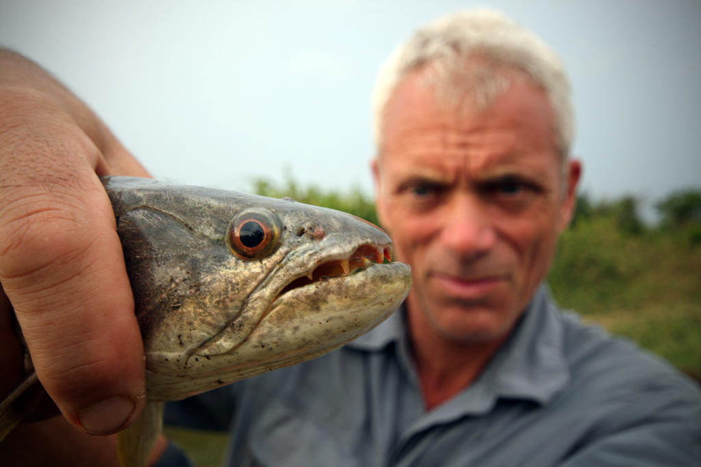 Wolf fish river monsters animal planet for Freshwater wolf fish