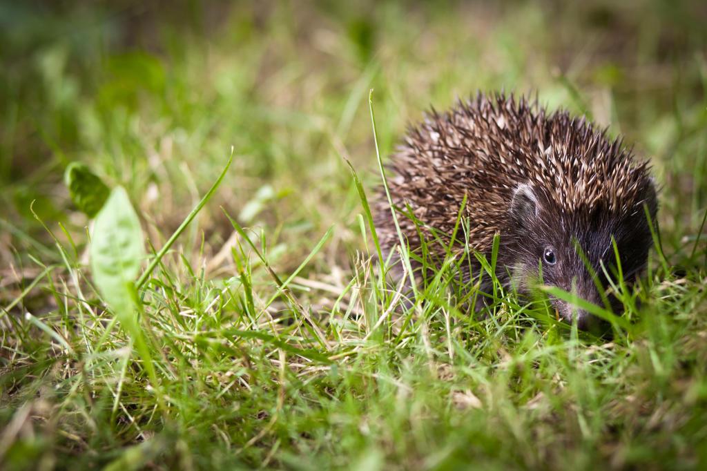 wild hedghog as pet