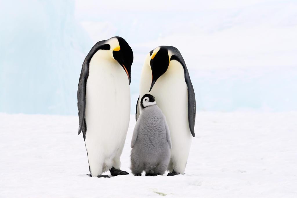 penguin emperor animal animals wild planet movie debbie