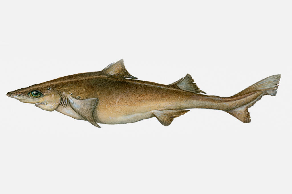 an overview of dogfish sharks 3 habitat and niche sharks live in the water (mostly in the ocean and rarely but occasionally in lakes and rivers) dogfish sharks live in the ocean.