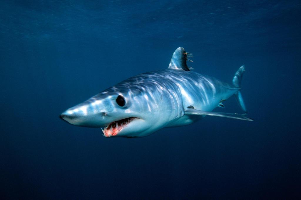 How Many Miles Per Hour >> Shortfin Mako Shark   Shark Week   Discovery
