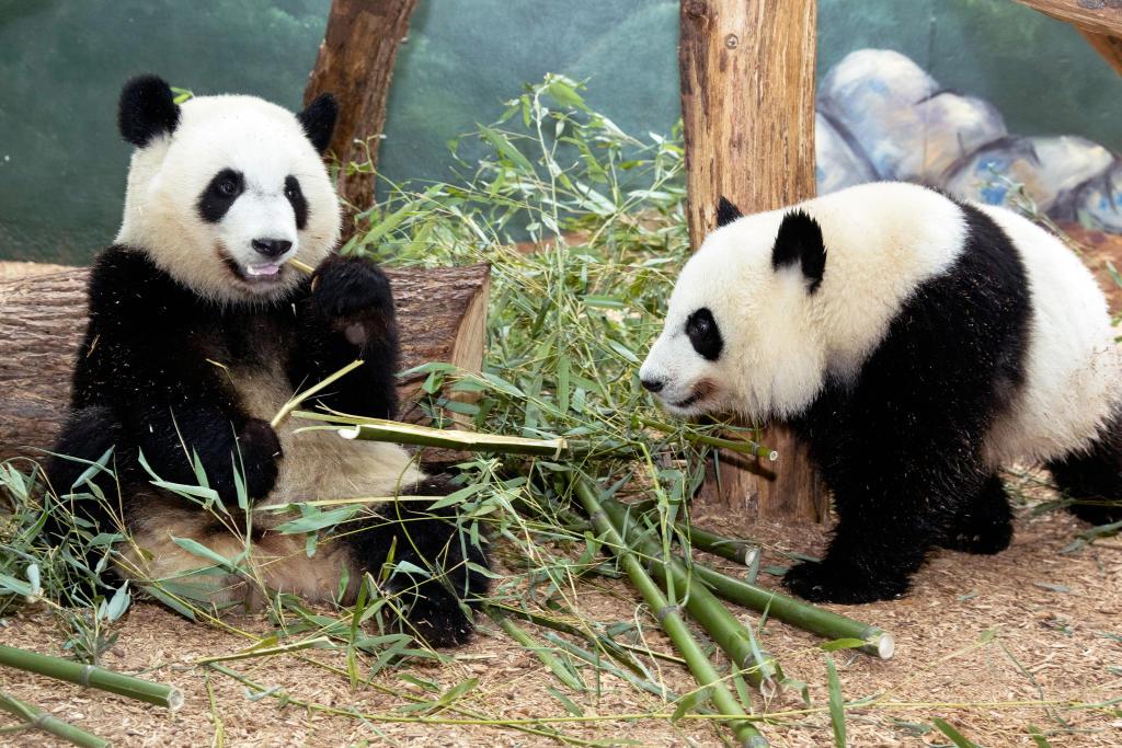 Animal Planet L!VE Panda Cam – Your Hub For All Things Panda ...