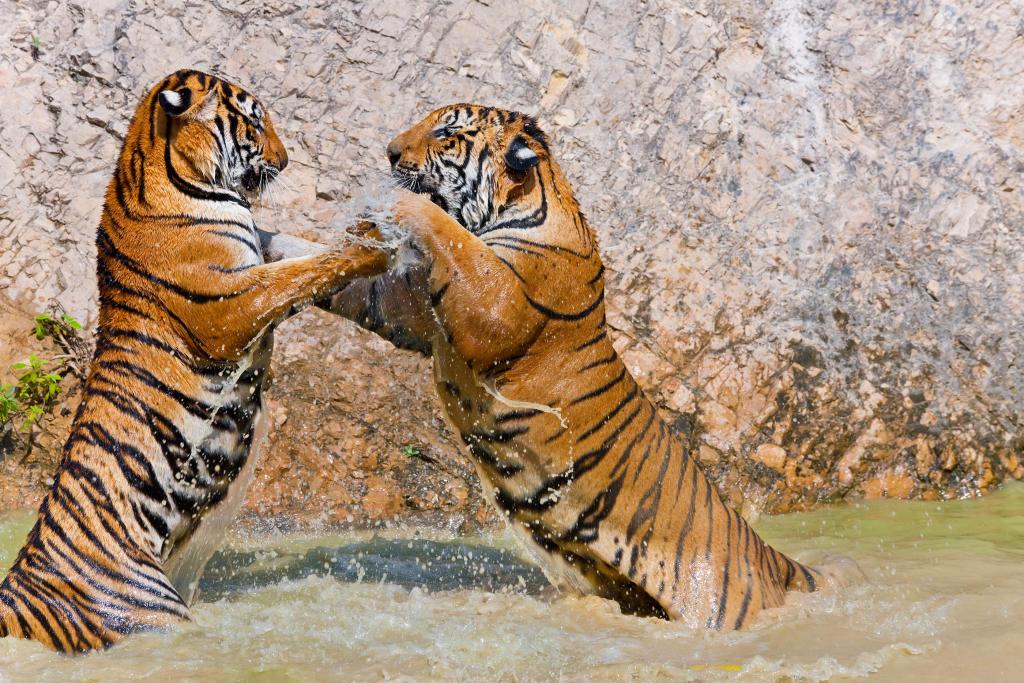 indochinese tiger endangered species animal planet
