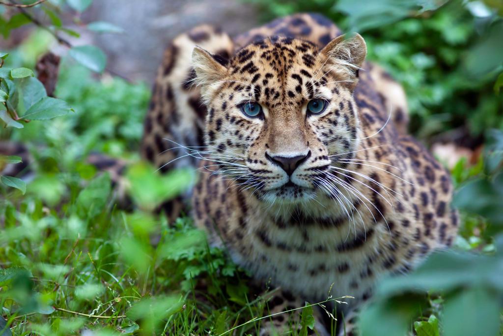 Amur Leopard | Endangered Species | Animal Planet