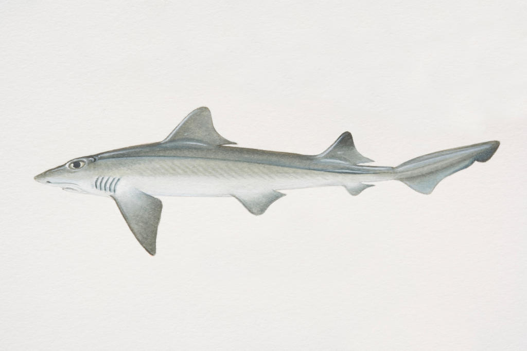 Smooth Dogfish Smooth Dogfish Shark | Shark