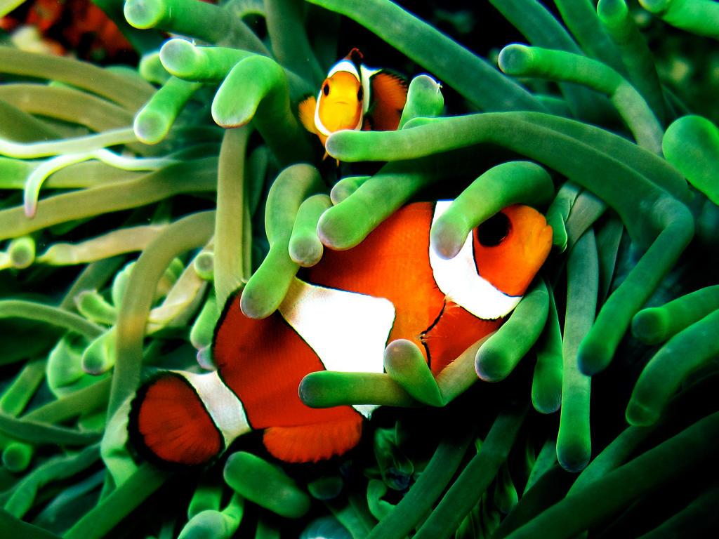 Clown fish wild animal safari animal planet for A clown fish