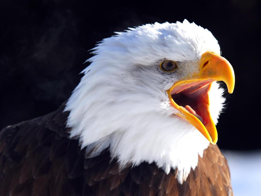 Bald Eagle Wild Animal Safari Animal Planet