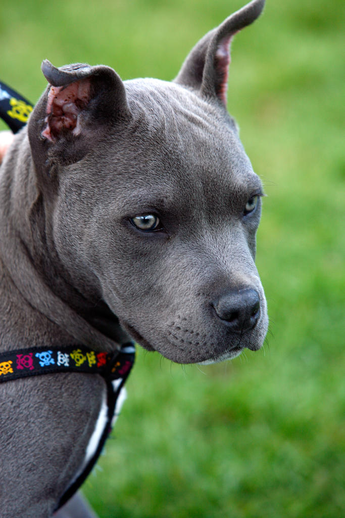 Is your bully breed banned? | Bully Breeds | Animal Planet