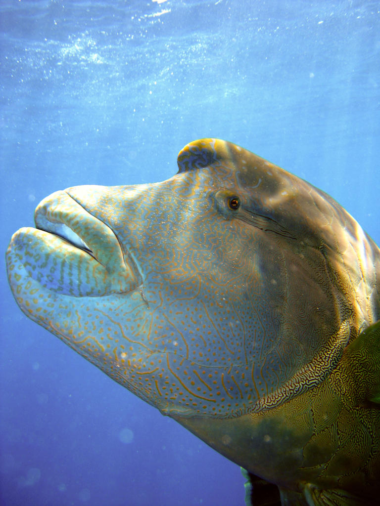 Humphead Wrasse Endangered Species Animal Planet