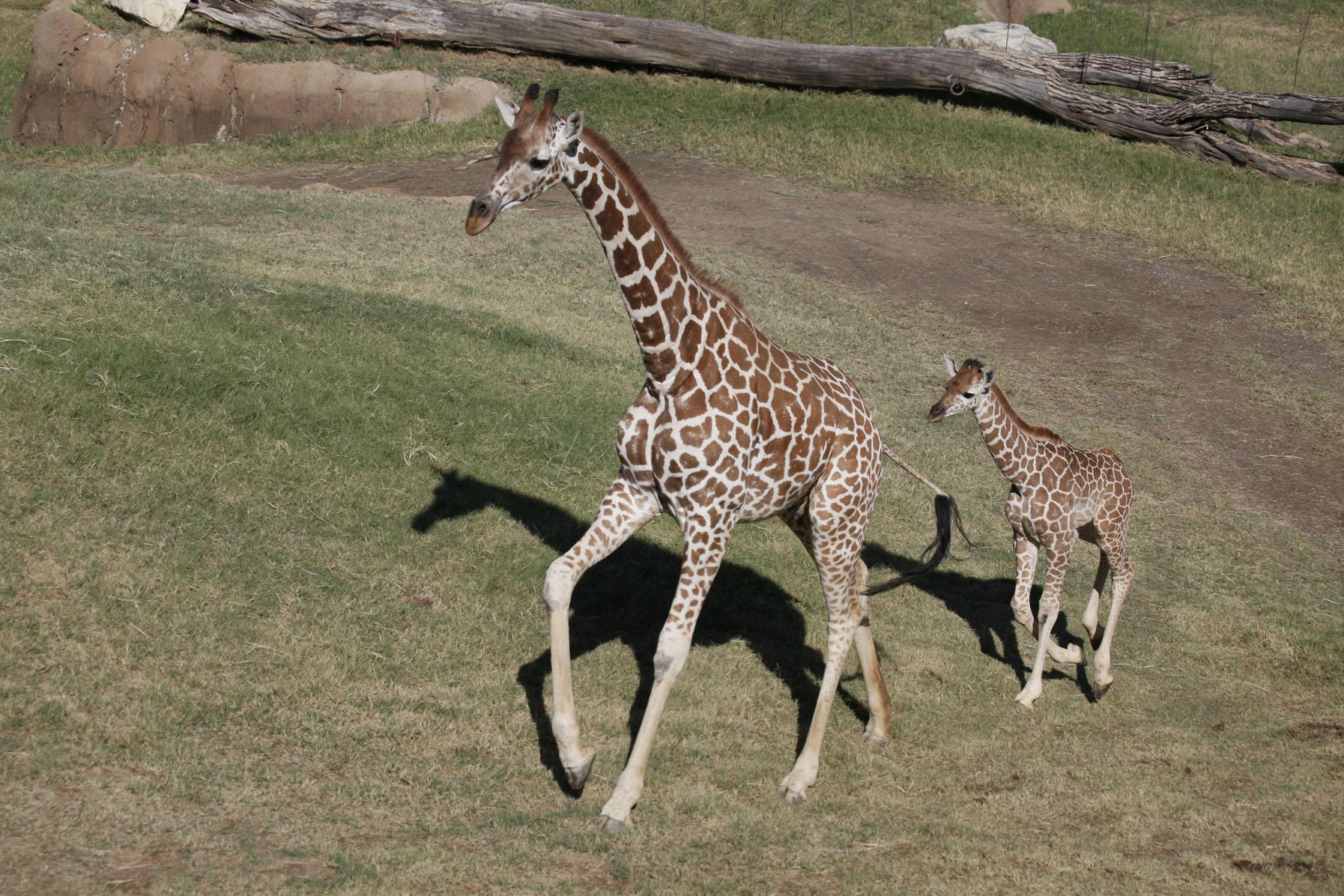 giraffe photos giraffe birth live animal planet