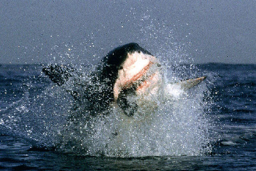 A great white shark launches from the water during an attack off the coast of Seal Island in South Africa. The breaching behavior of great white sharks was a complete surprise to everyone, most shark scientists included, when