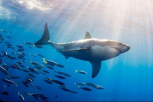 The Great White Shark   Great White Gallery Brought To You By Great Clips Shark Week