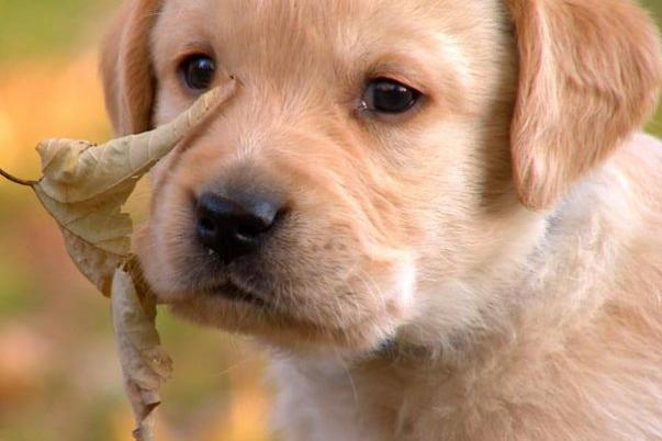 Absolutely adorable puppy photos too cute animal planet another of the labrador retriever puppies learns about the great outdoors voltagebd Gallery