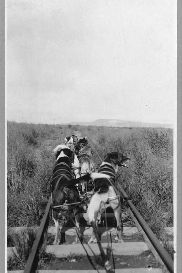 Dog team pulling a pupmobile, a passenger train drawn over a regular railroad track by dog power.