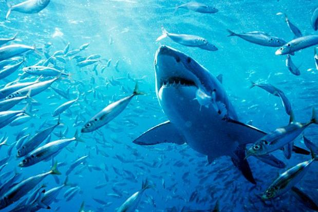 Great white gallery brought to you by great clips shark week great white shark carcharodon carcharias swimming through a school of fish neptune altavistaventures Image collections