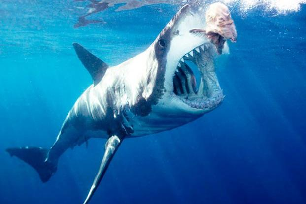 great white gallery brought to you by great clips shark week great white shark arching body and opening mouth for bait wide angle neptune