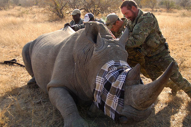 Saw (Navy SEAL fmr.) & Biggs (Navy SEAL fmr.) assisting veterinary team by helping then turn over a darted rhino .