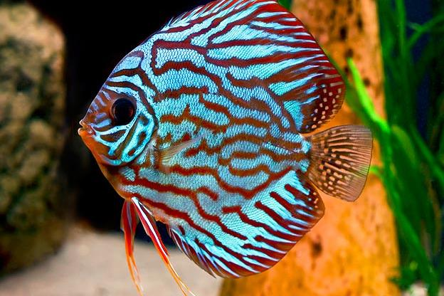 Top 10 Aquarium Fish For Every Budget Tanked Animal Planet