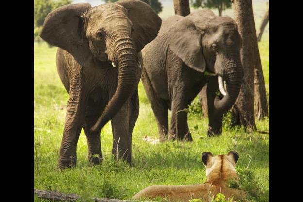 Lions: Elephant Pictures | Wild Kingdom | Animal Planet