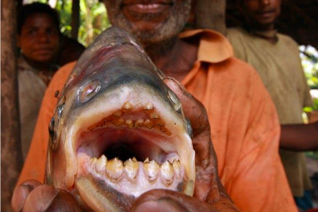 red bellied pacu pictures river monsters animal planet
