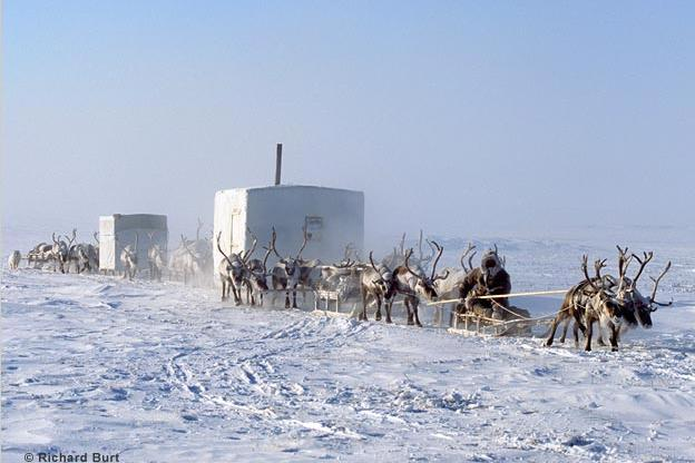 In Siberia, domesticated reindeer pull sled-bound huts across the ice.