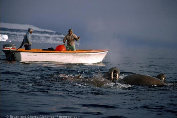 Inuits hunt walrus from a boat in Smith Sound, Northwest Greenland.
