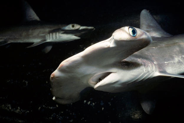 Juvenile scalloped hammerhead sharks patrol Hawaii's Kane'ohe Bay at night. Like most sharks, hammerheads are probably more active at night than during the day.